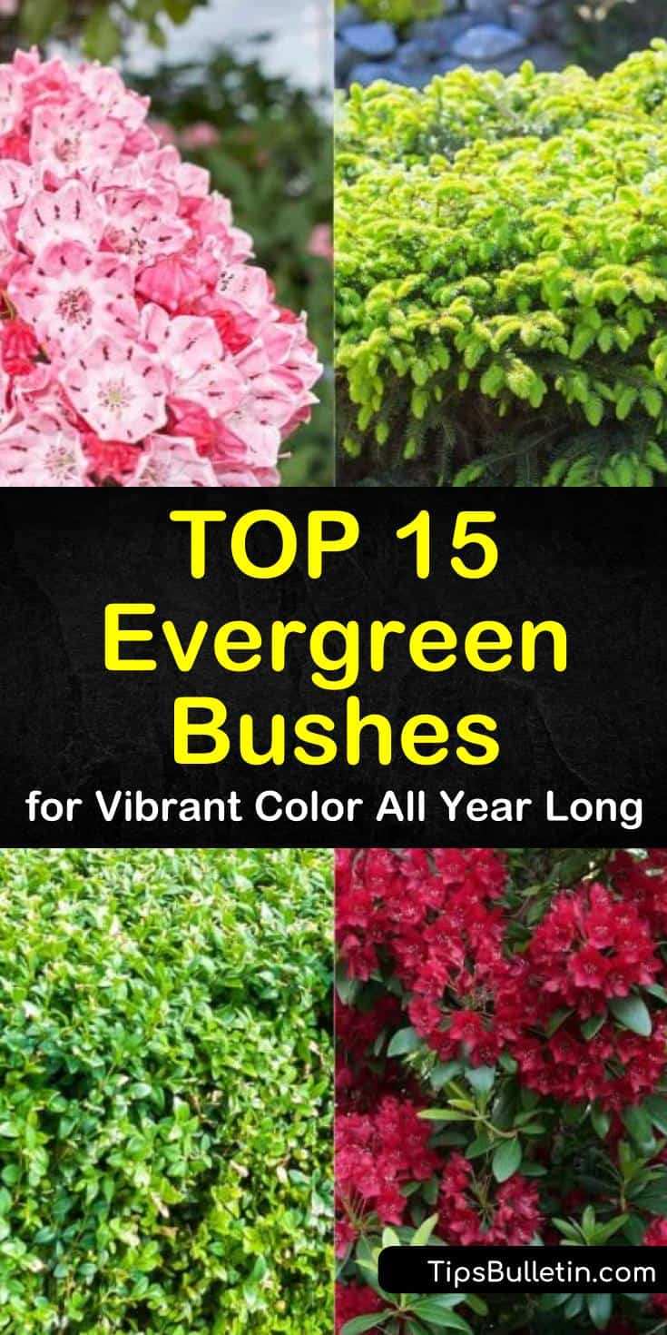 Learn how to use evergreen bushes to fill your backyards and front yards with vibrant color all year long. Evergreen shrubs are drought tolerant bushes that can thrive in shade to full sun depending on the variety. Learn how to use these hedges for privacy. #evergreen #evergreenbushes #bush
