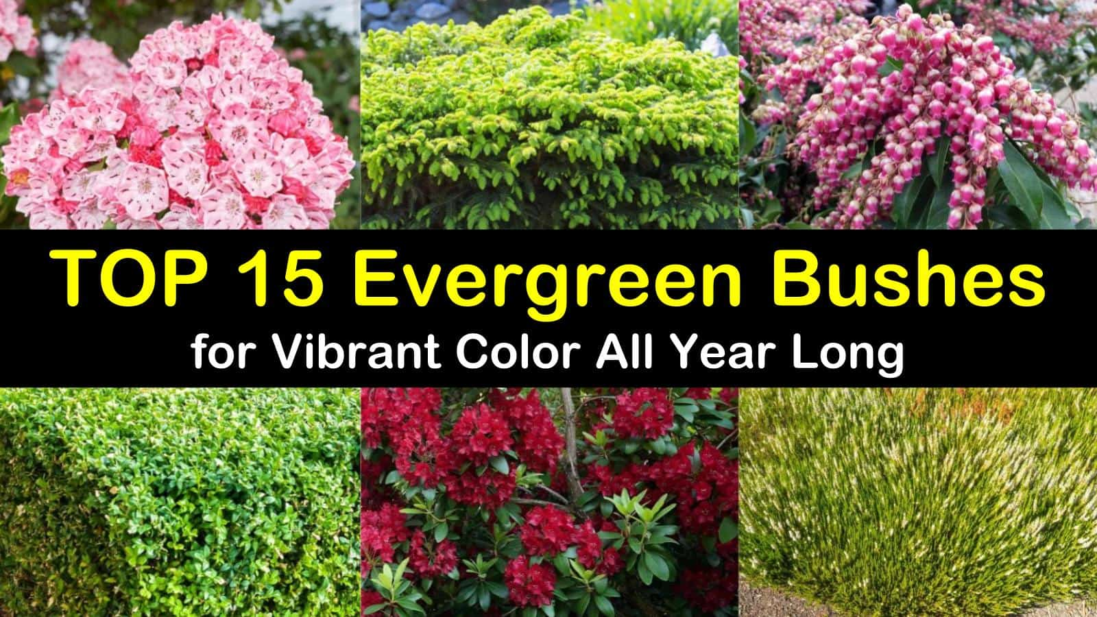 Top 15 Evergreen Bushes For Vibrant
