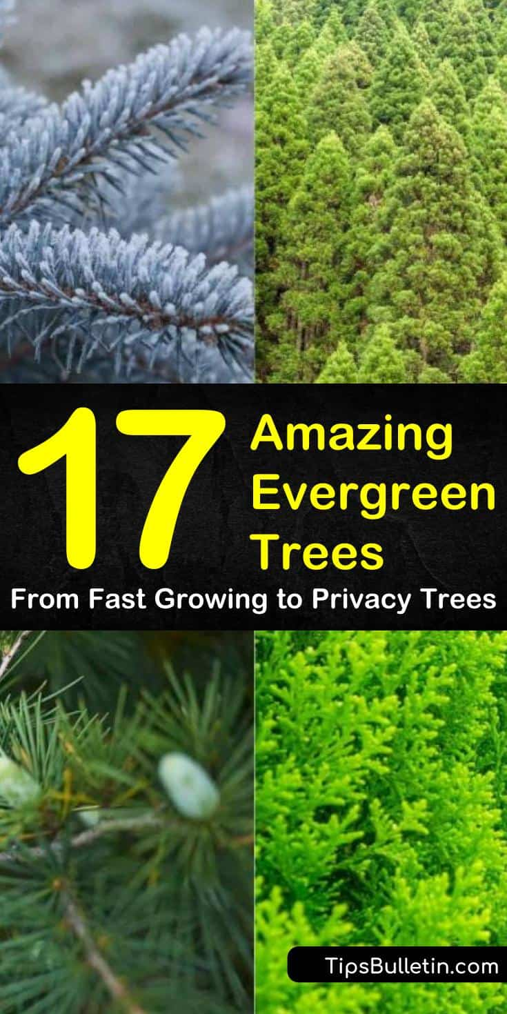 Find out everything you need to know about the most popular types of evergreen trees! Add color to your landscaping by planting small, large, or wide trees for privacy or ornamentation. #trees #evergreen #privacy