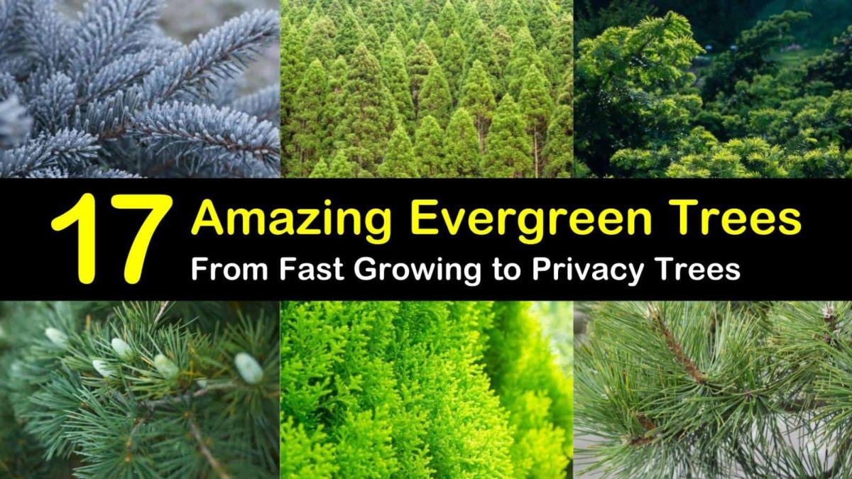 17 Evergreen Trees - From Fast Growing to Privacy Trees - The...