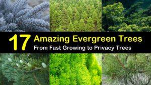 evergreen trees titleimg1