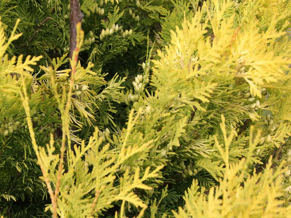 false cypress is also known as the golden evergreen