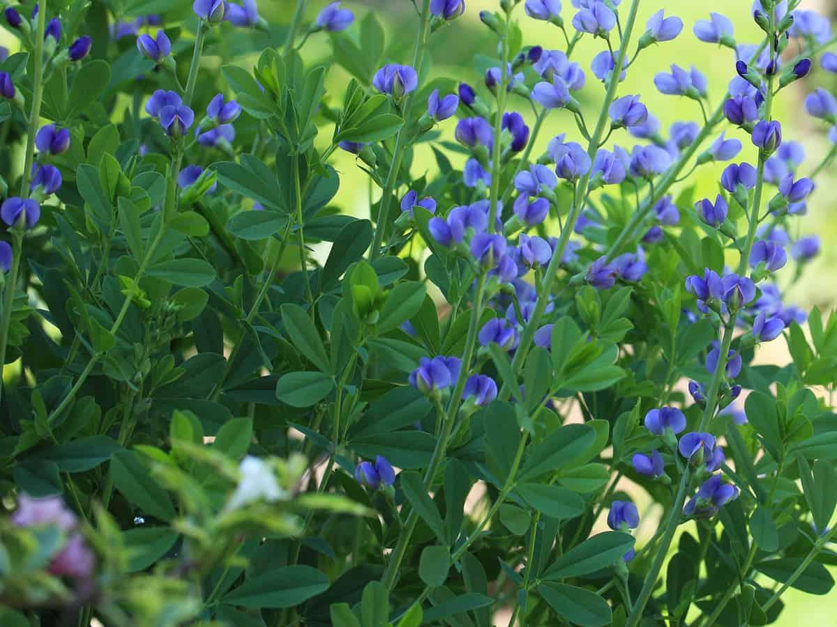 false indigo is a herbaceous perennial that is deer-resistant