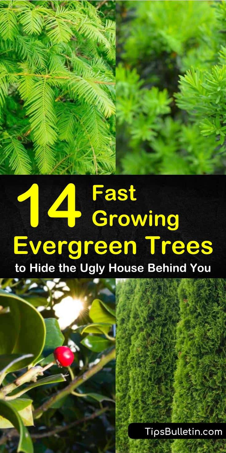 Learn what the best fast growing evergreen trees are with our tips and tricks. Use them as privacy fences, screens, and shades to shield certain areas of your house. #fastgrowingevergreentrees