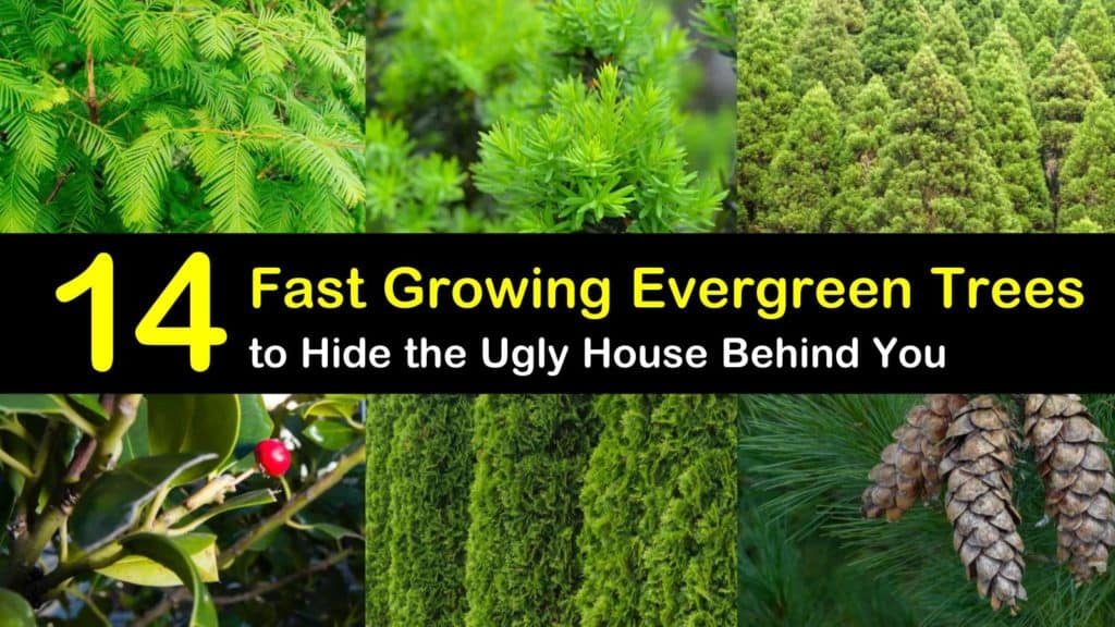 14 Fast Growing Evergreen Trees To Hide The Ugly House