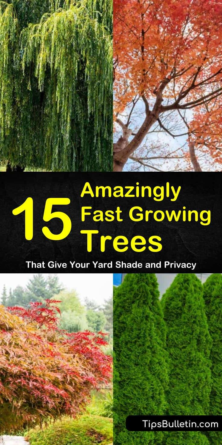 Discover 15 amazing fast growing trees for small yards and house backyards. Choose from hedges for privacy or shades, brilliant colored trees, and drought tolerant trees. #fastgrowingtrees #privacytree #trees #gardening