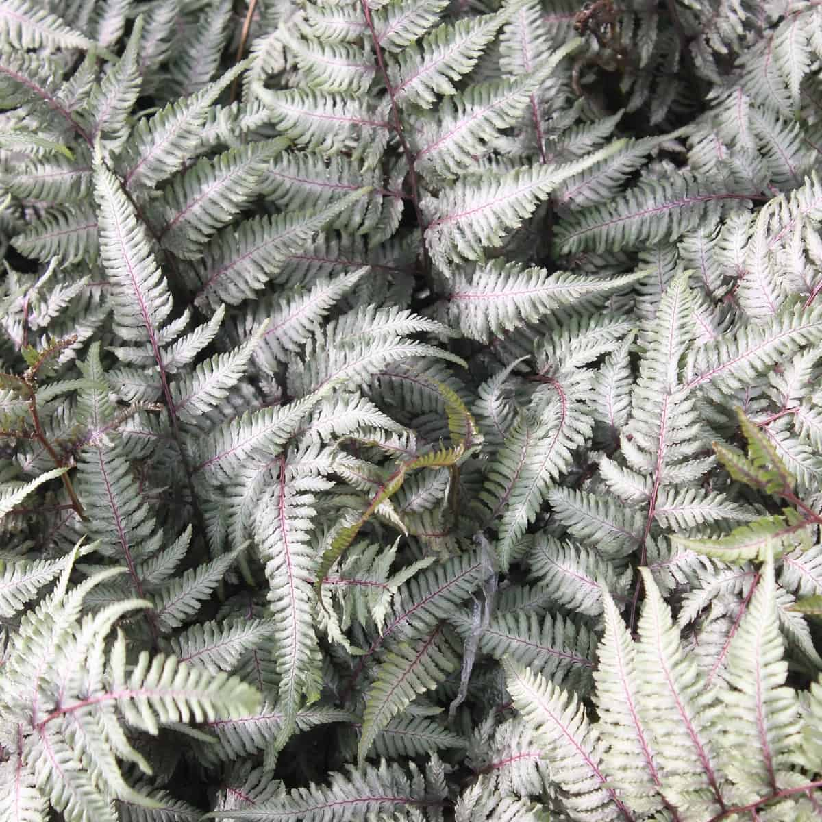 Japanese painted ferns are hardy perennials that love shade