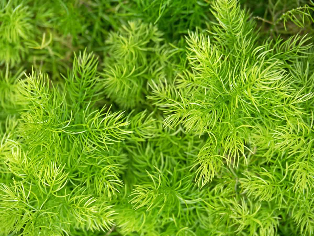 the asparagus fern is actually a member of the lily family