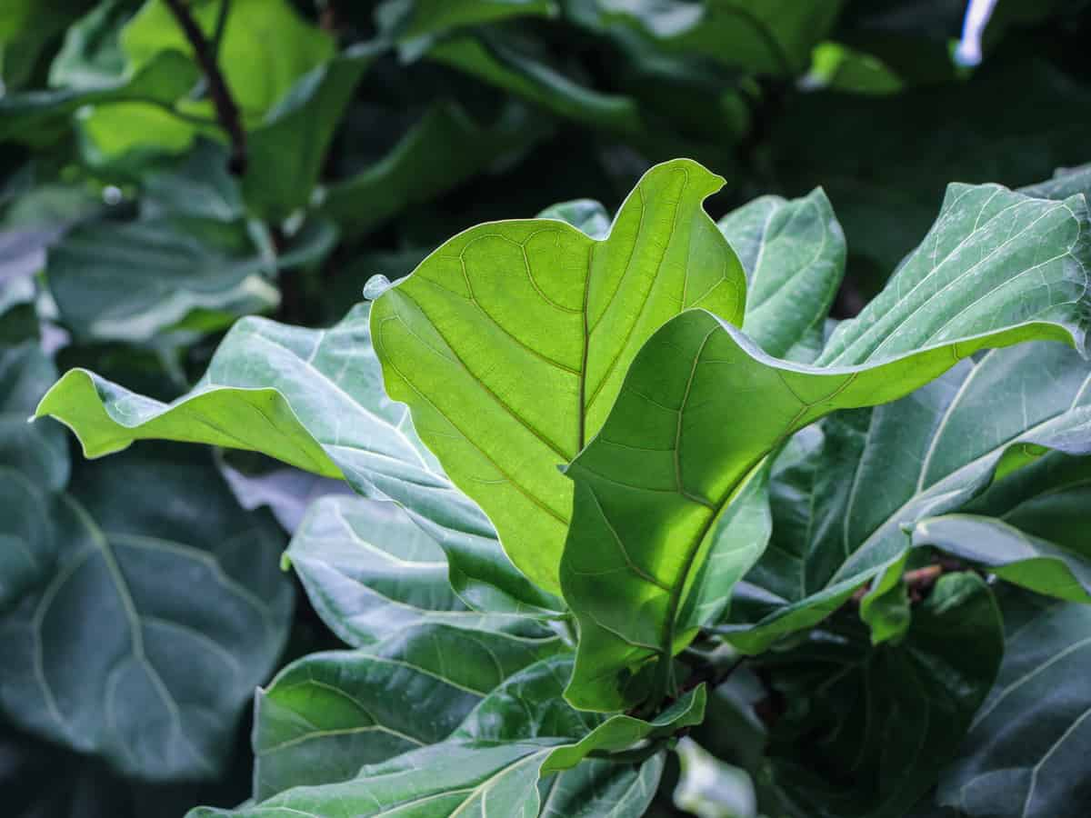 fiddle leaf fig can tolerate neglect