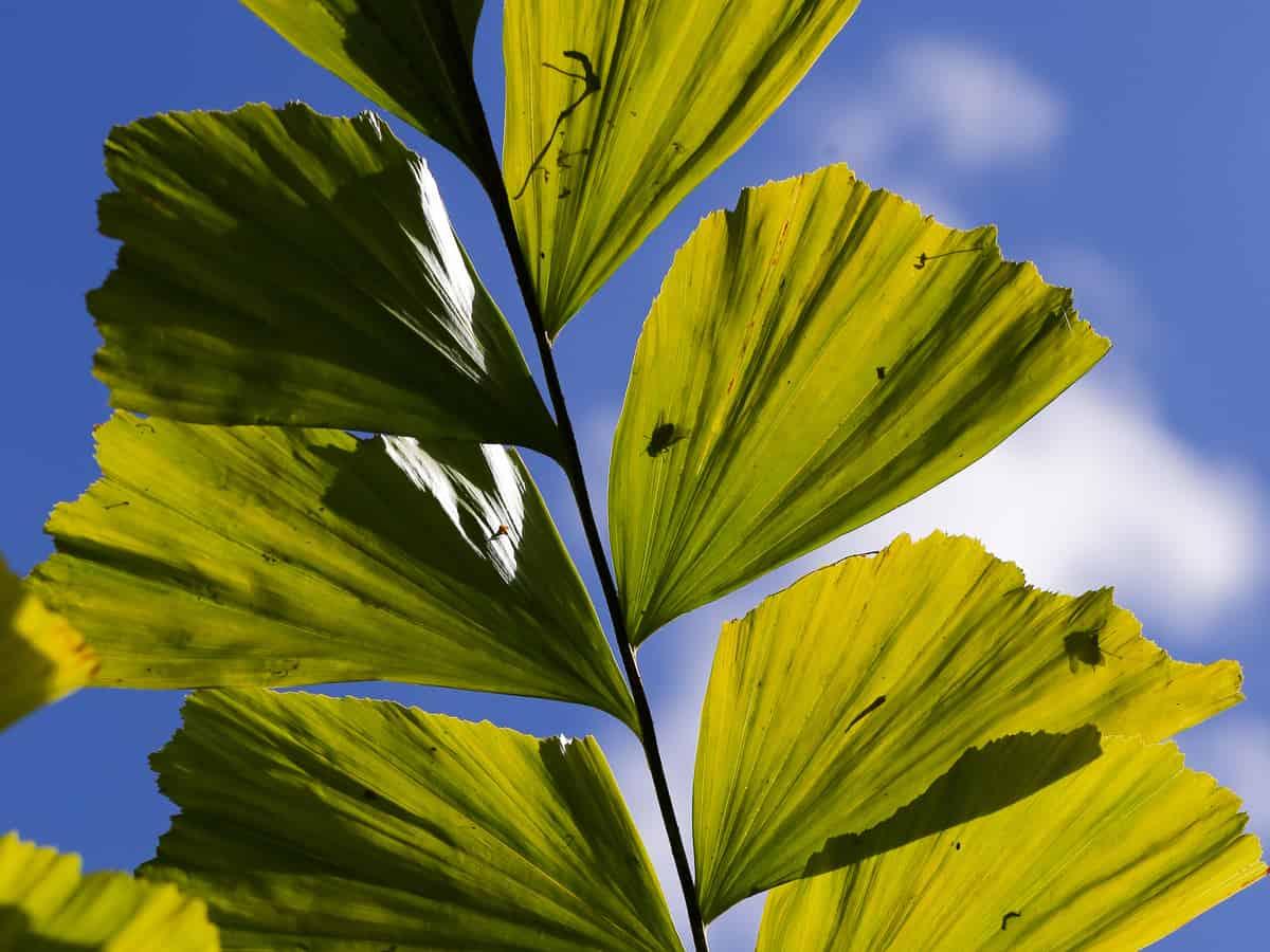 fishtail palm trees won't kill the cat