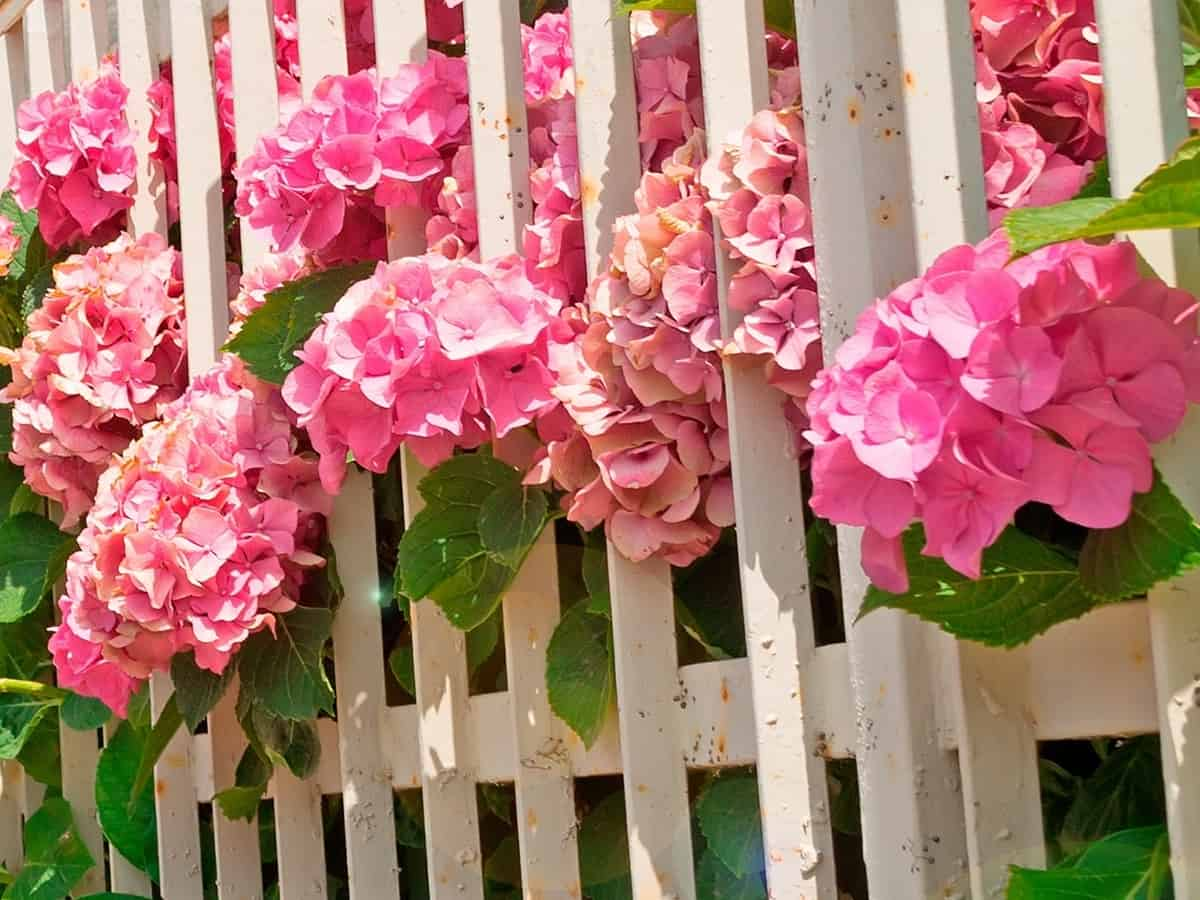 pretty pink flowers of the flare hydrangea