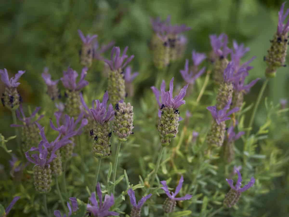 French lavender is a popular drought-resistant bush