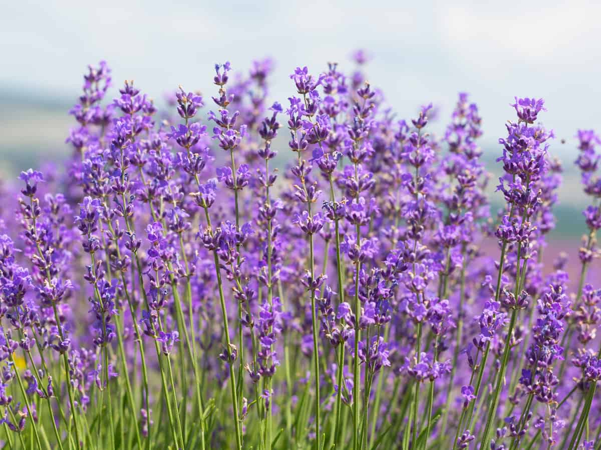 French lavender looks and smells lovely