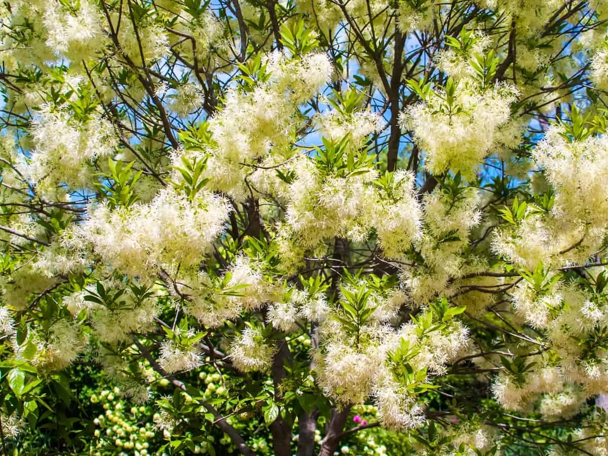 fringe tree is a flowering tree with white flowers