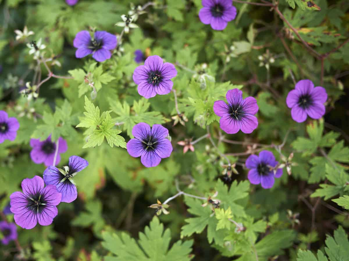 bigroot geranium is a perennial that has attractive flowers