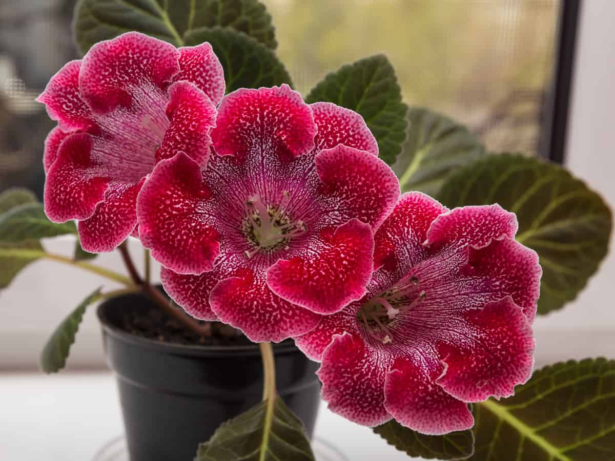 gloxinia likes low light growing conditions