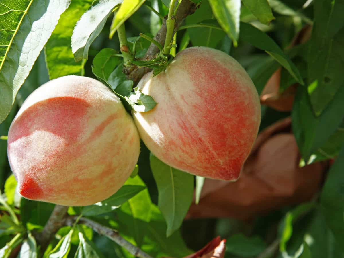 golden glory peaches are patio-perfect