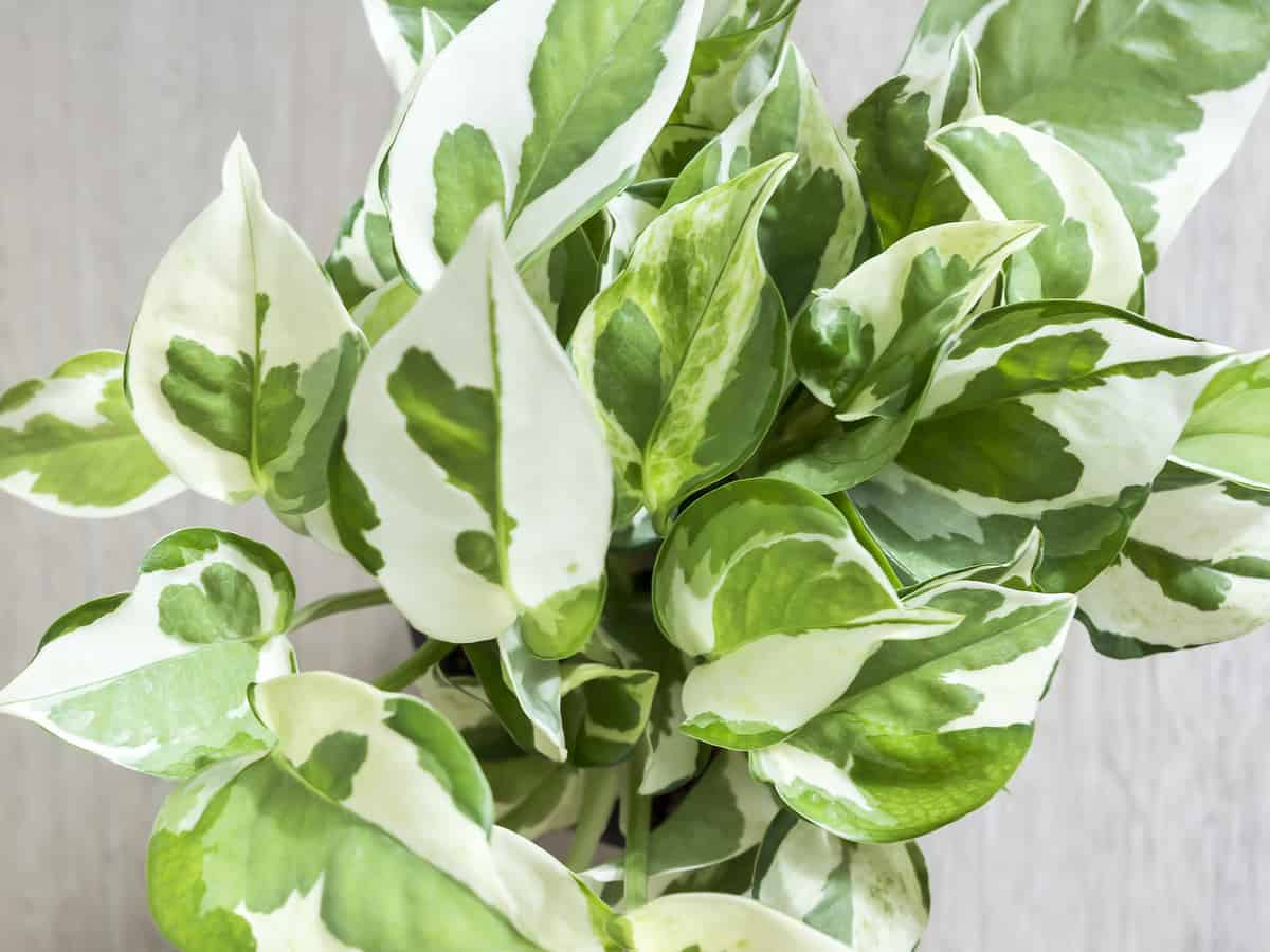golden pothos is an easy maintenance air purifying plant