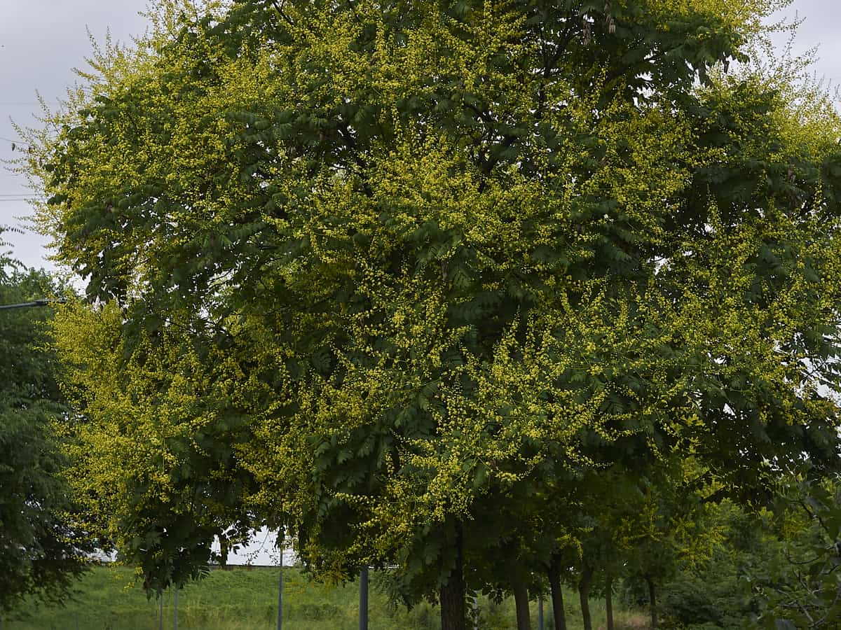 the golden raintree adds color and shade