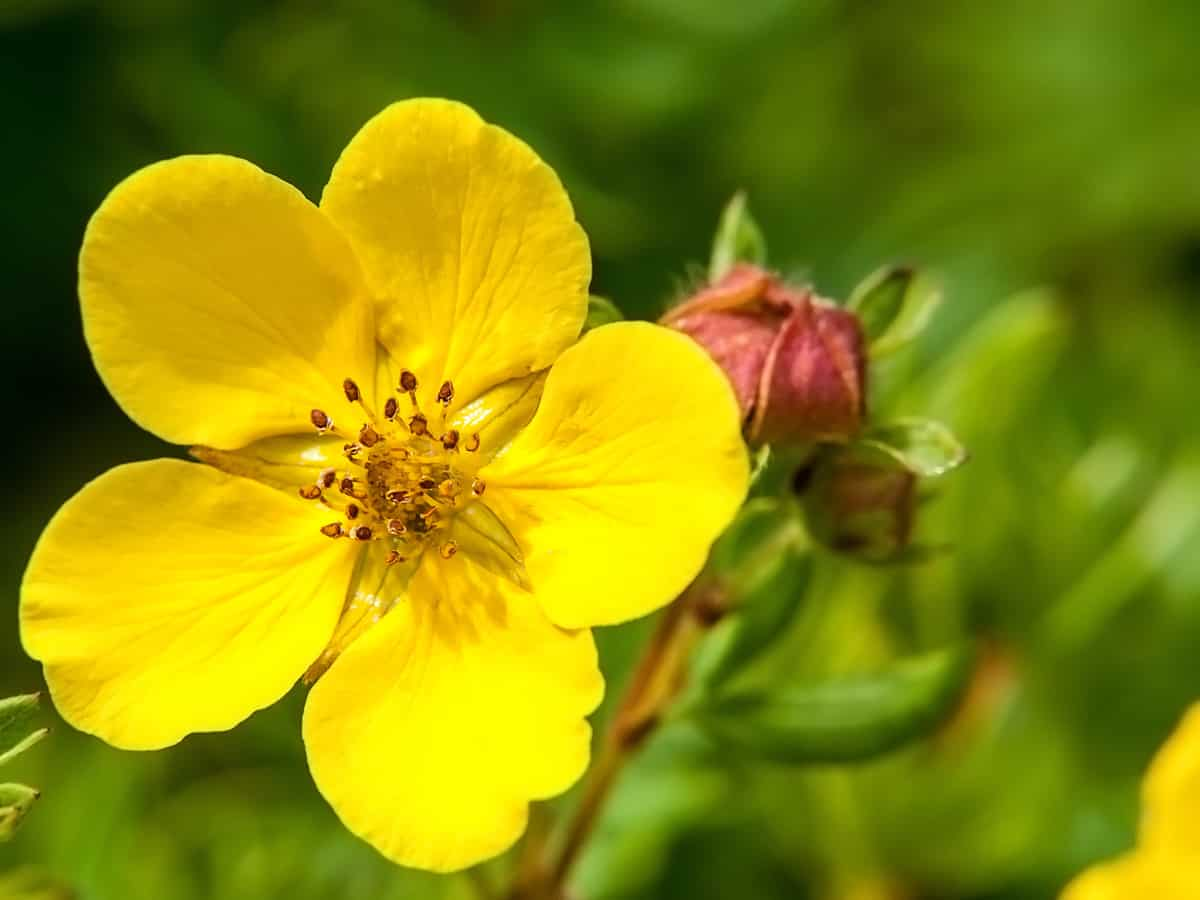 goldfinger potentilla is a colorful bush for the garden