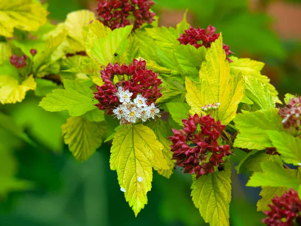 goldflame spirea is a popular dwarf shrub