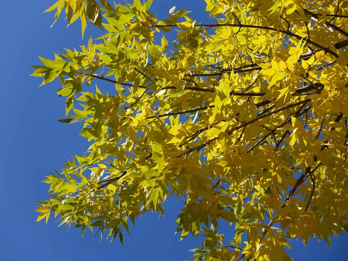 the green ash resists most pests and diseases