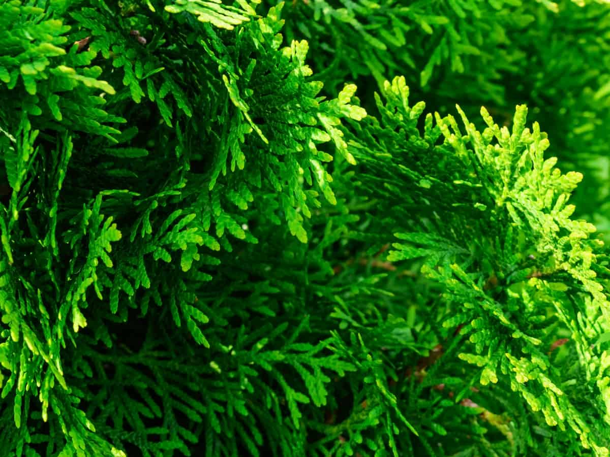 green columnar juniper separates your home from nosy neighbors