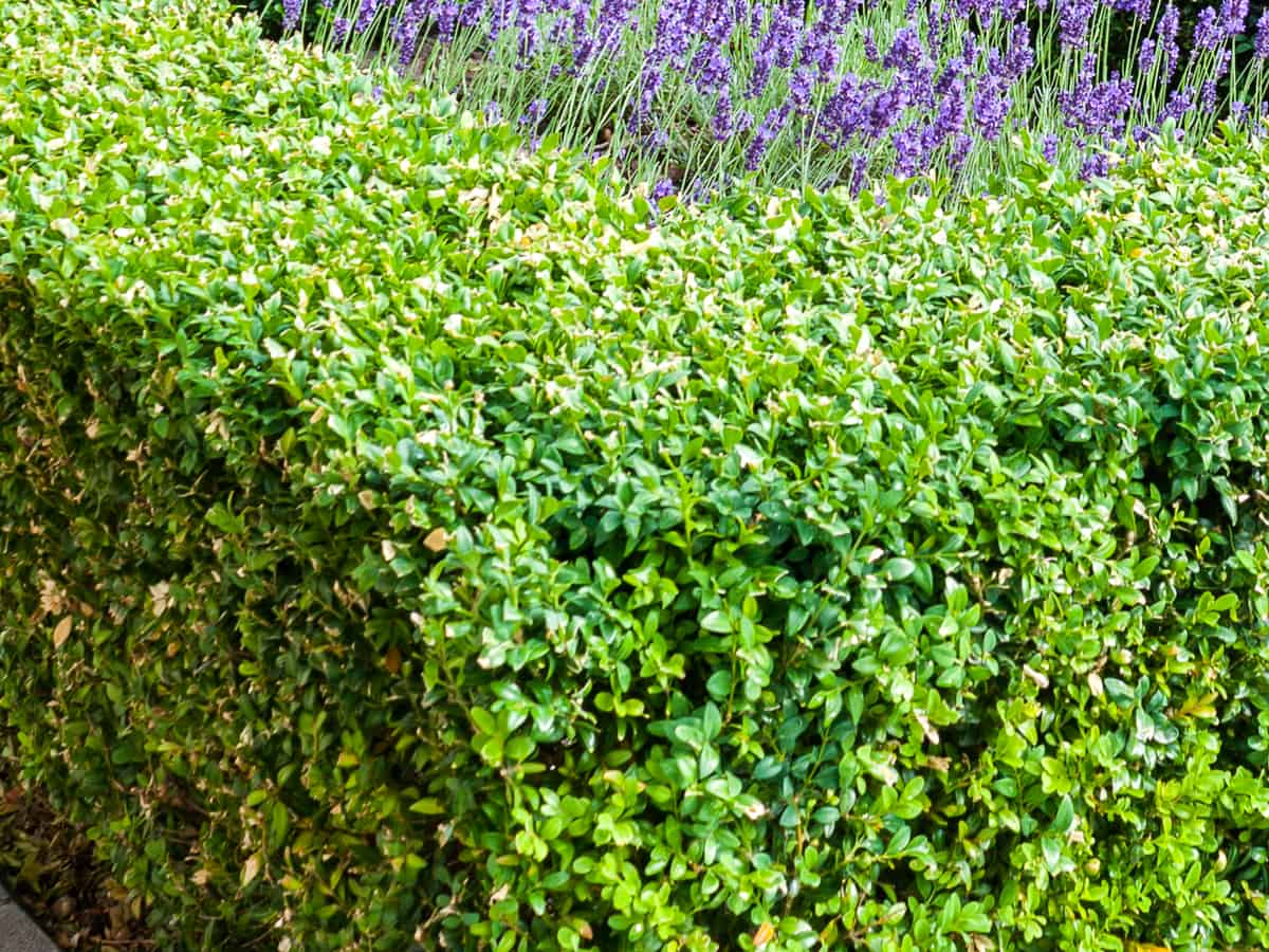 green mountain boxwood stays bright green all winter