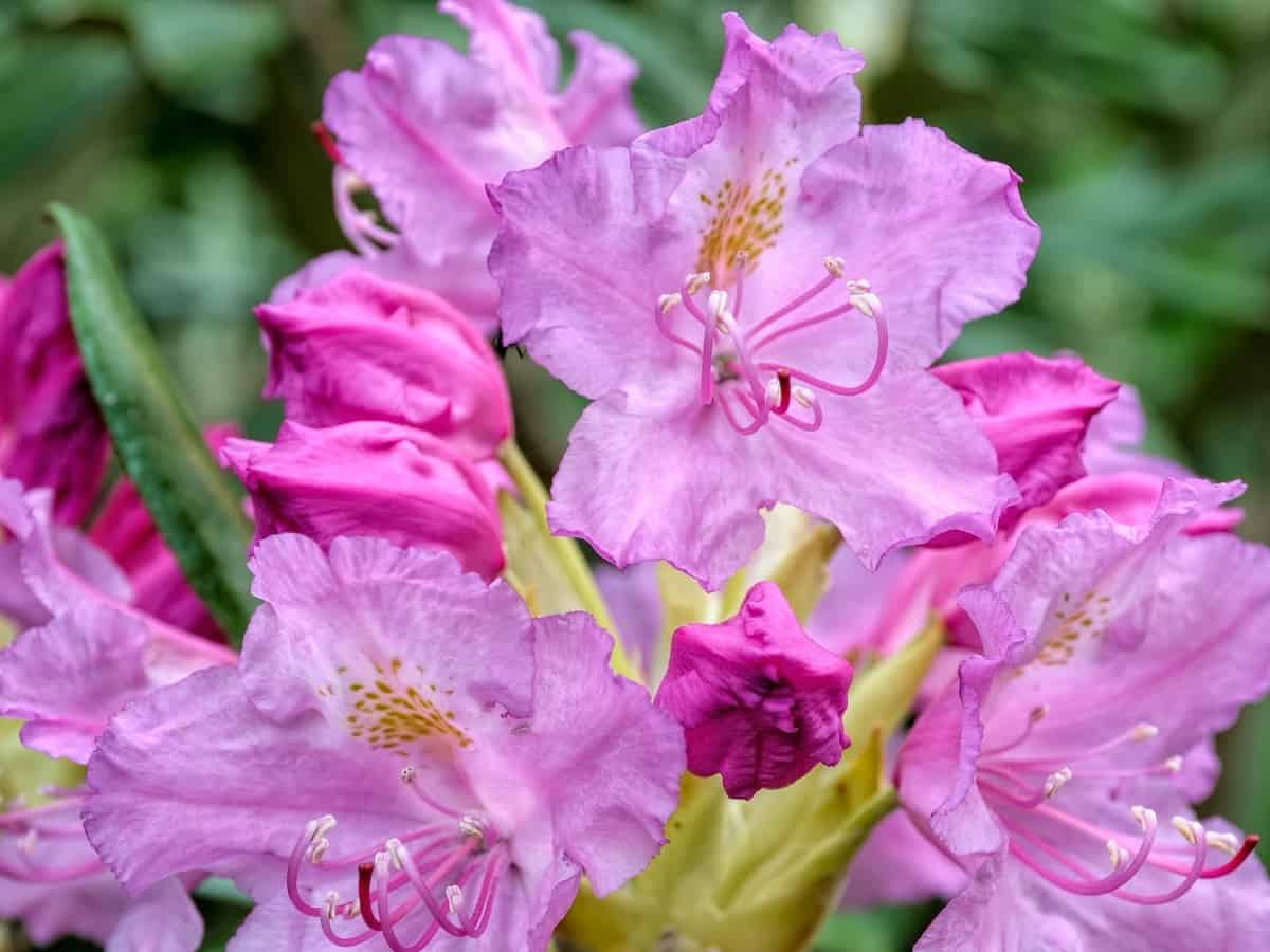 haaga rhododendron - plant it and forget it