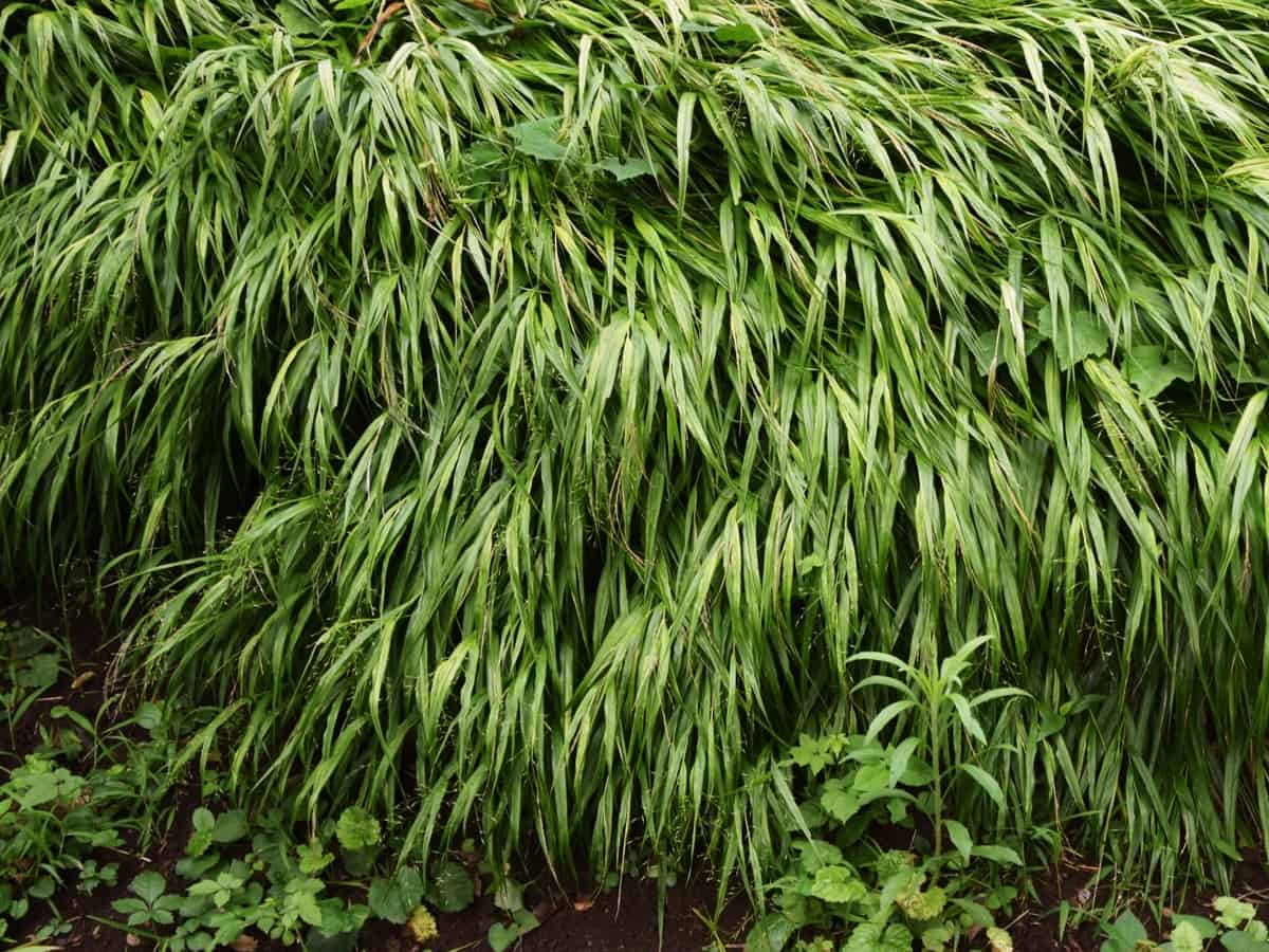 hakone grass is an ornamental perennial with beautiful color
