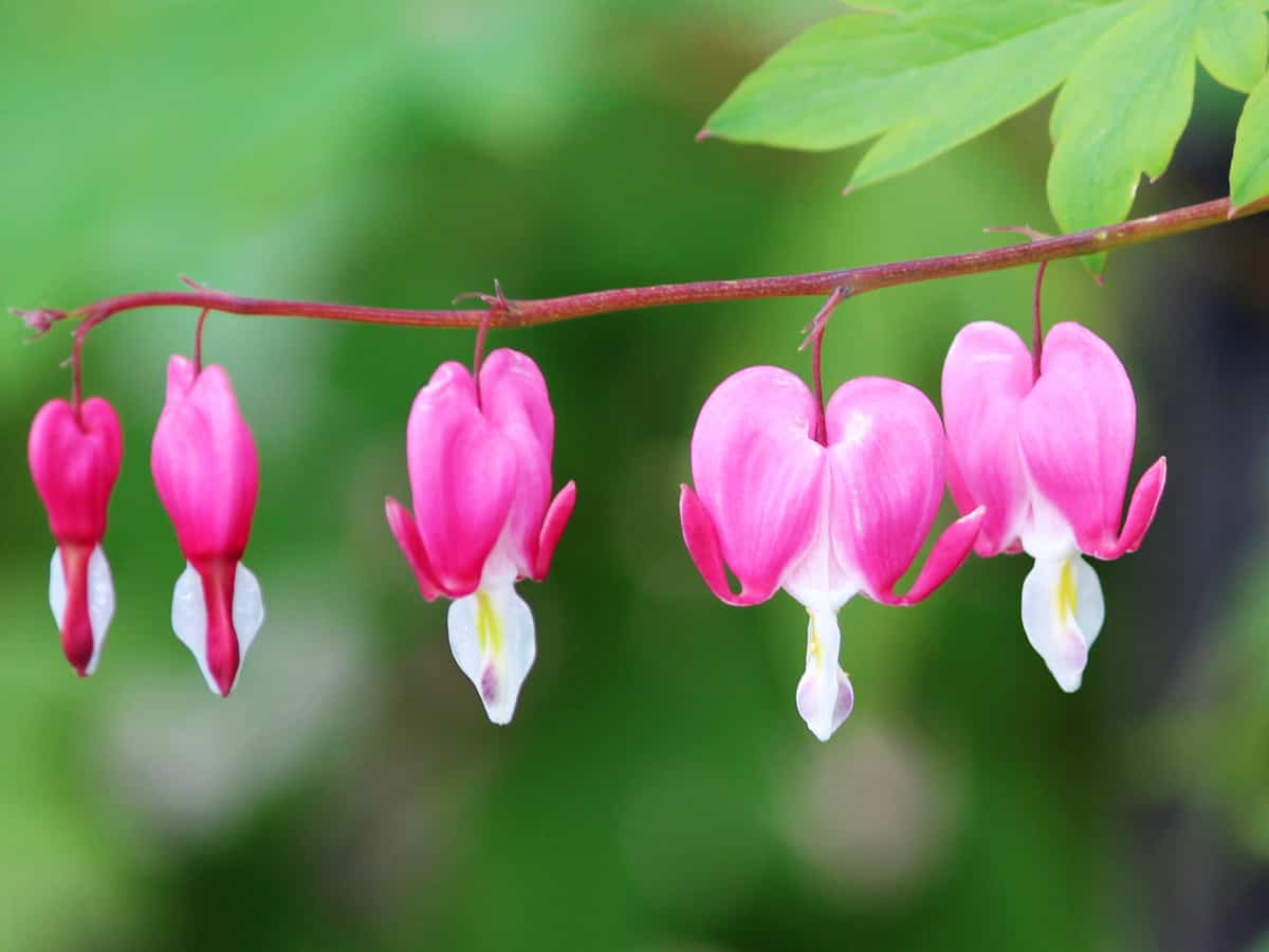 bleeding heart is an easy to care for perennial plant that looks great in any garden