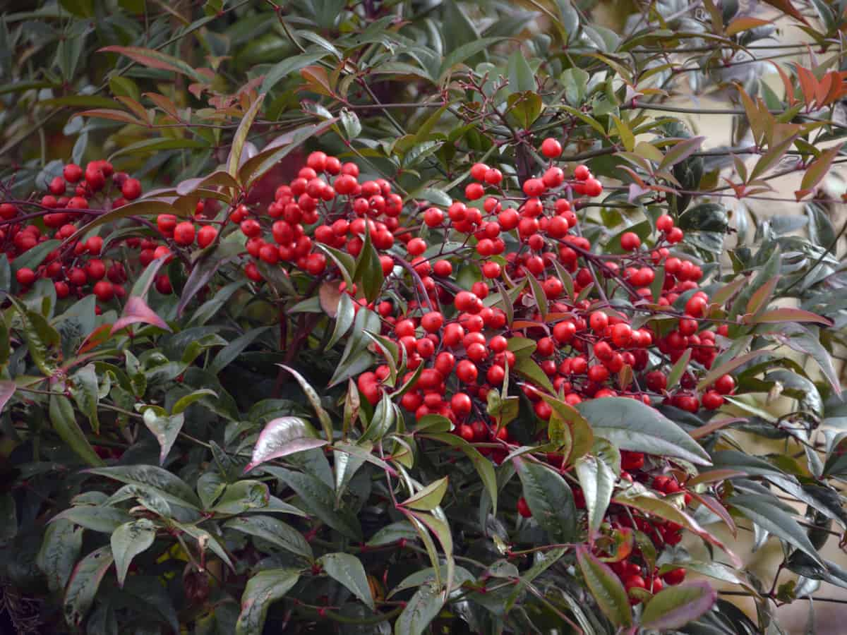 heavenly bamboo is a slow growing shrub