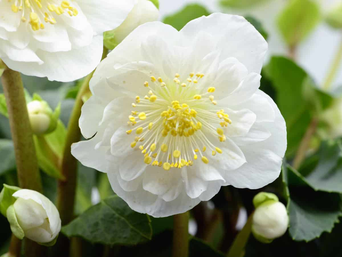 hellebore is an easy to care for perennial