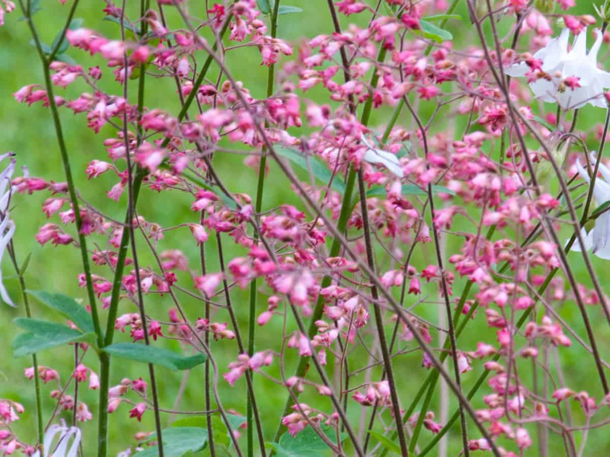 heuchera or coral bells is a low maintenance shade plant
