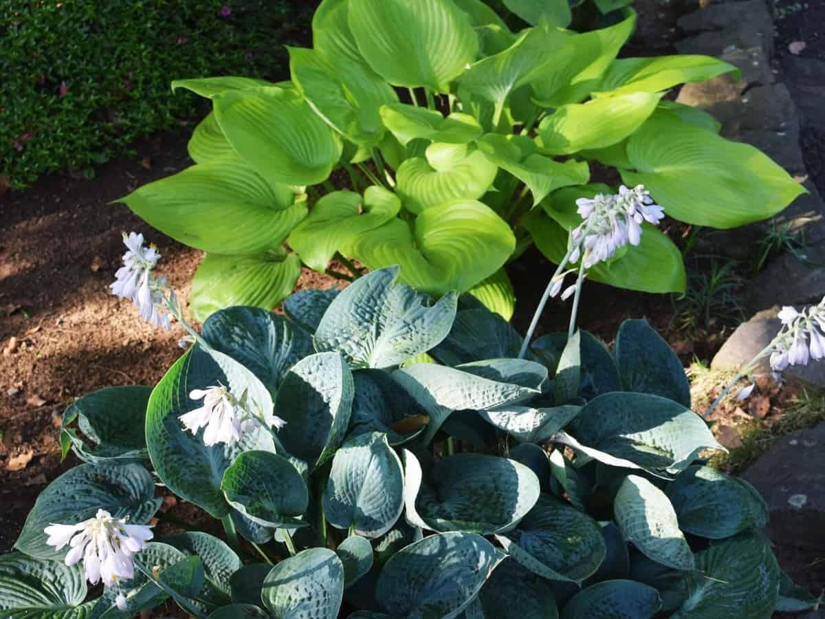 hosta perennials thrive in the shade
