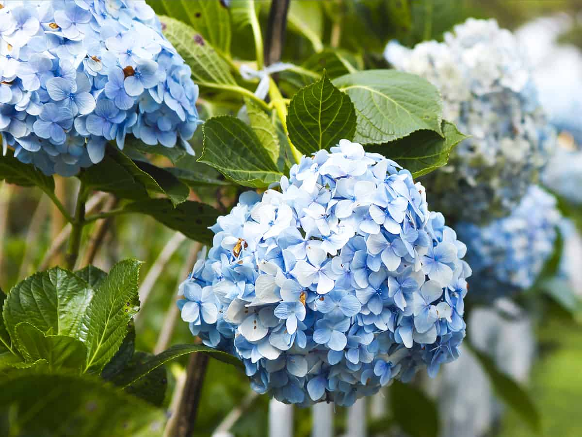 hydrangea is a must-have beautiful flowering shrub for a colorful garden