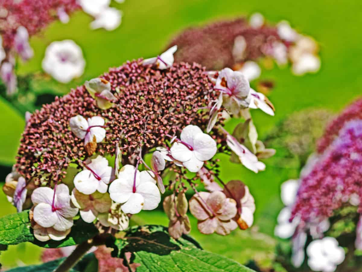 tuff stuff mountain hydrangea - a shrub that does well in all climates