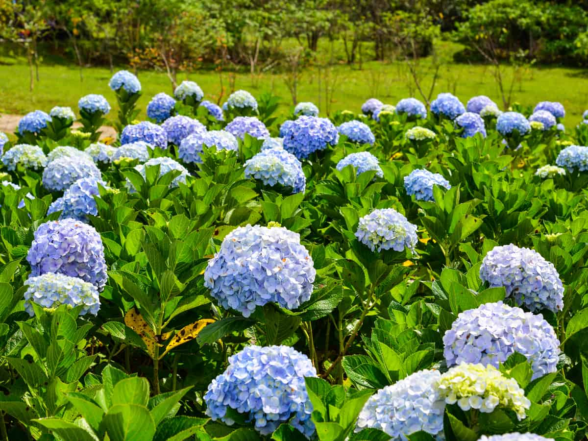 the hydrangea adds beauty to any garden