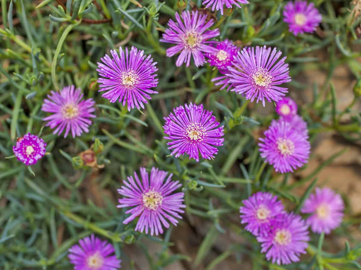 ice plant is an ideal ground cover perennial