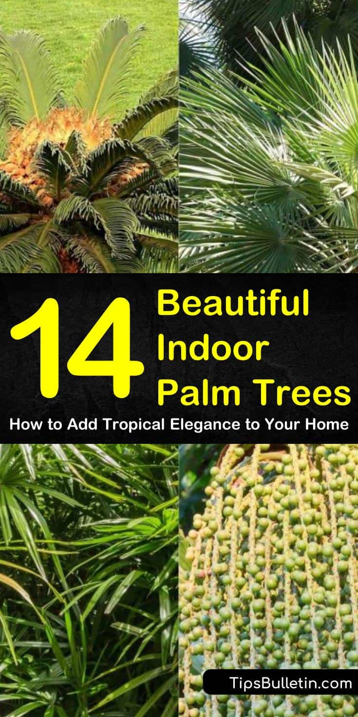 Discover 14 indoor palm trees that are perfect house plants for living rooms and offices. Learn how to grow different types of palms such as lady palms, dates, pygmy, bamboo, and king sago. Know how to utilize them as home decor using a large pot or containers. #palmcare #indoor #palmtree
