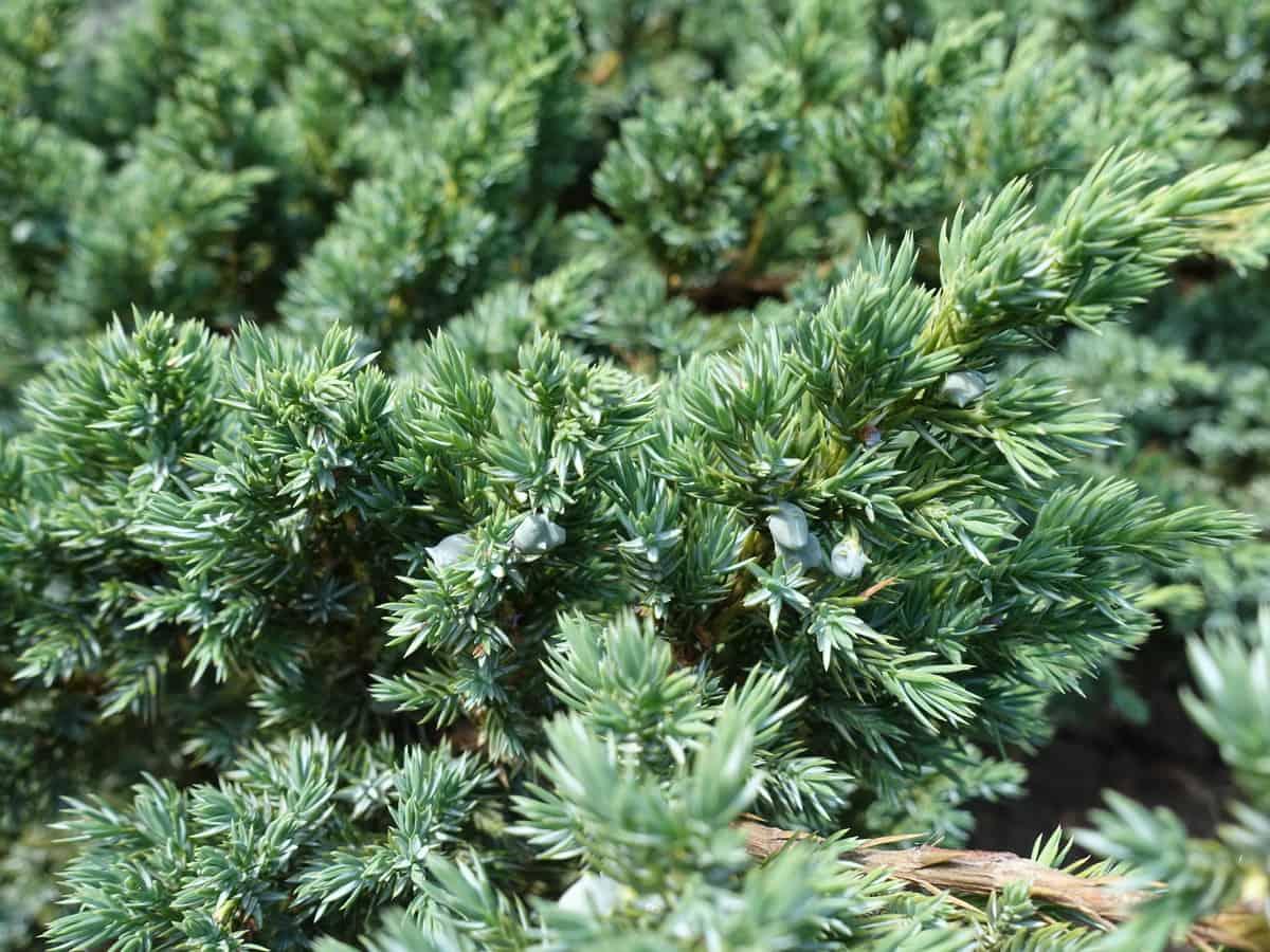 flaky juniper has silver-blue foliage