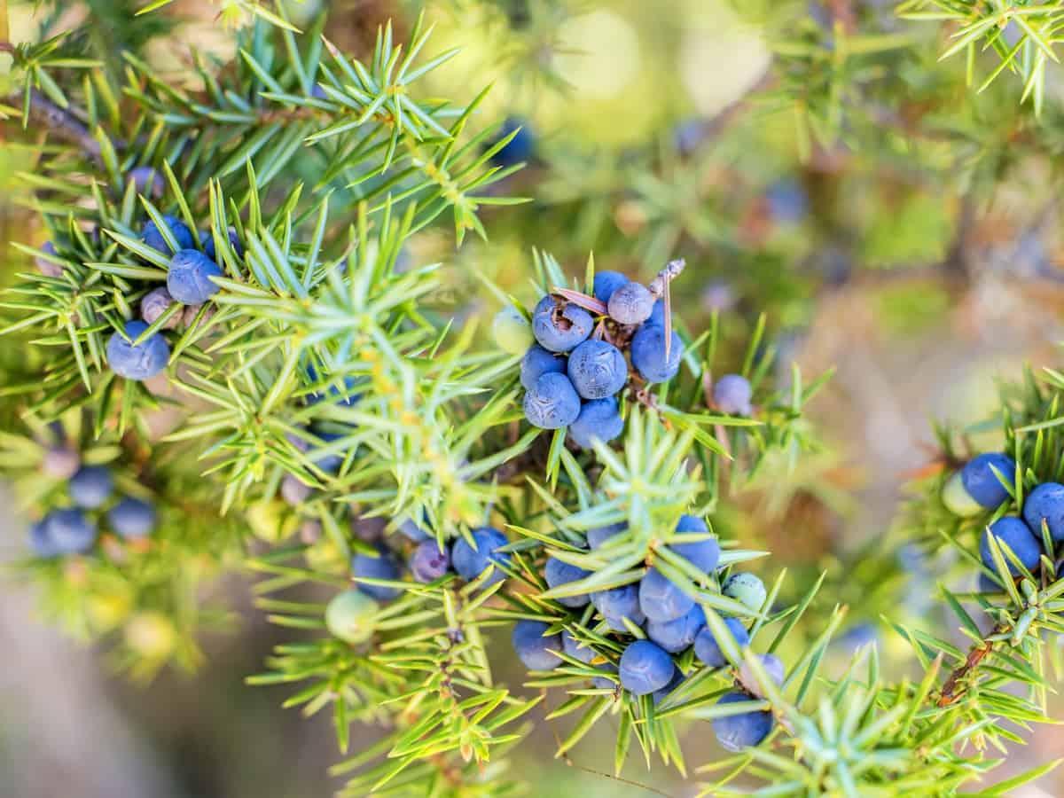 the juniper shrub cleans the air