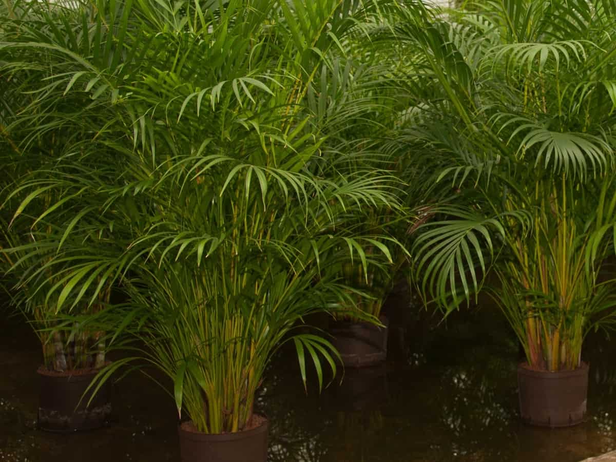 Kentia palm grows slowly in bright light