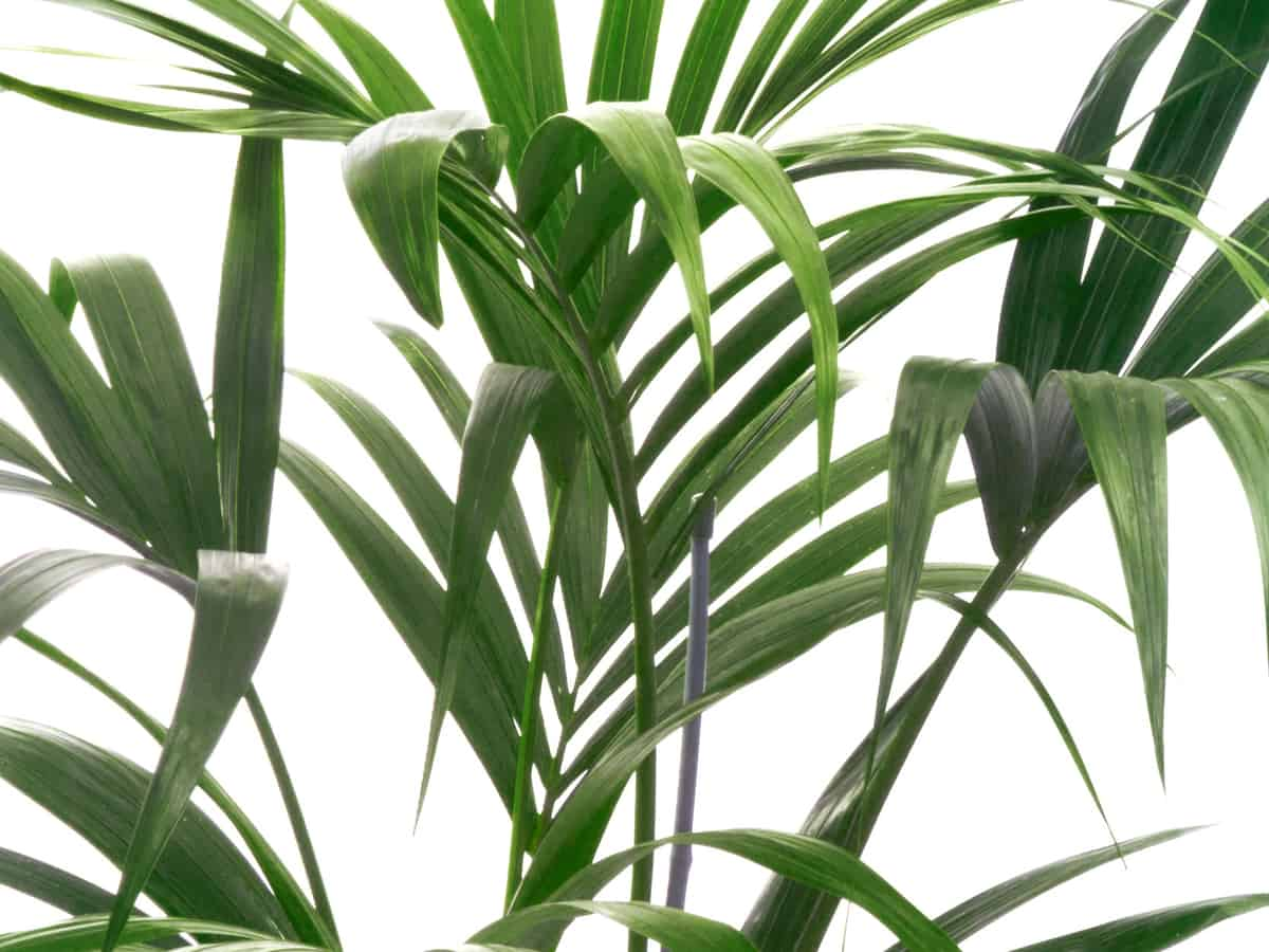 Kentia palm is easy to grow