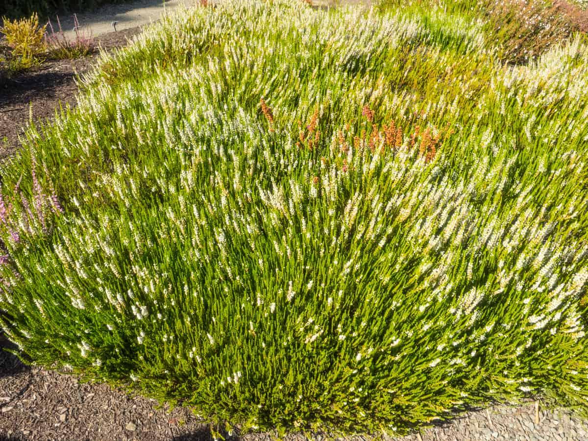Kramer's red winter heath is a vibrant mounding evergreen bush