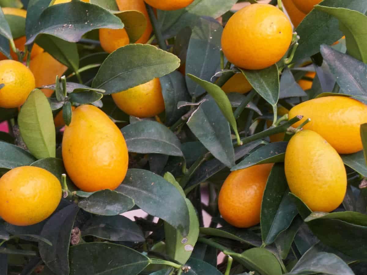 kumquat - the perfect dwarf citrus tree