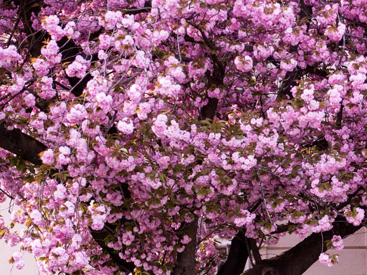 Kwanzan cherry blossom is a beautiful flowering tree