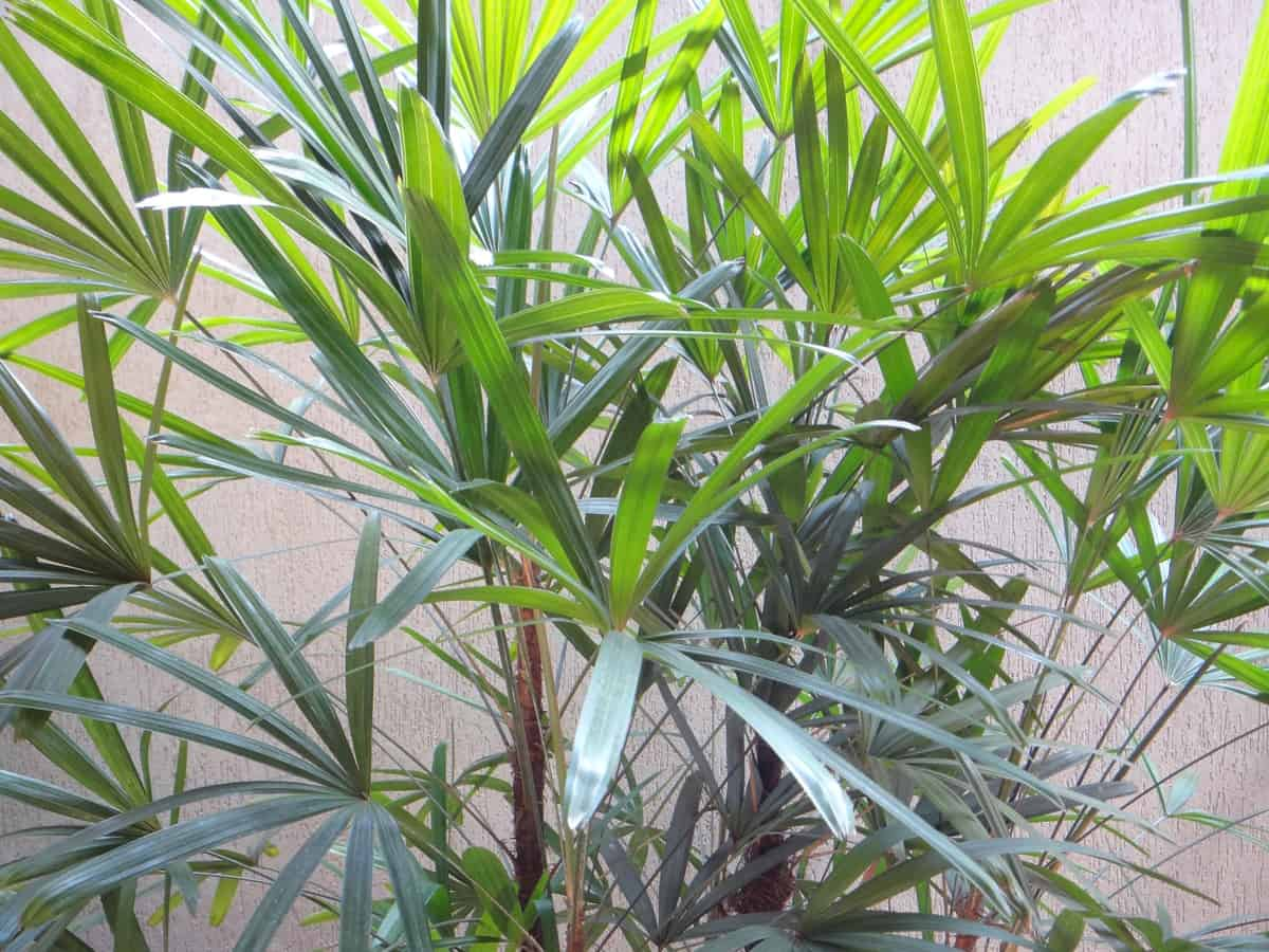 lady palm needs little light as an indoor tree