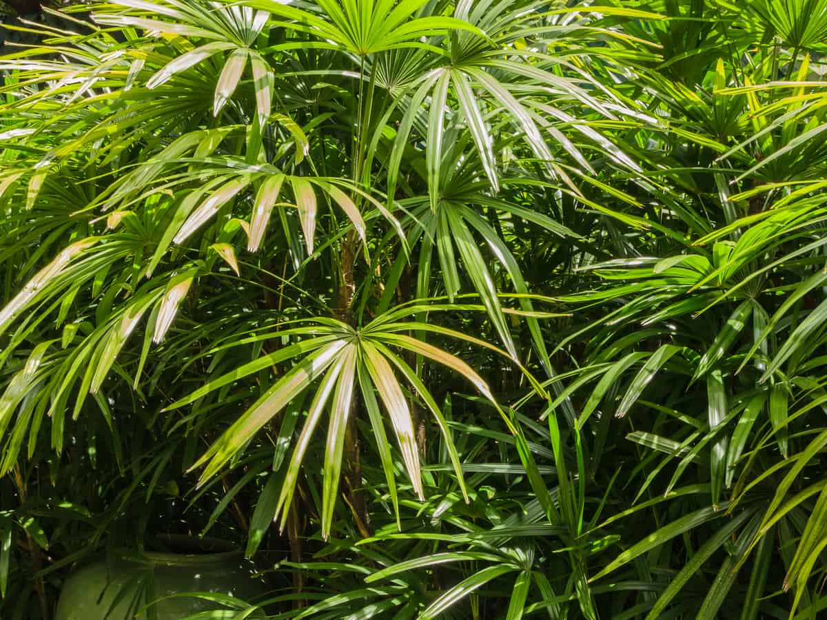 lady palm is highly adaptable to many climates