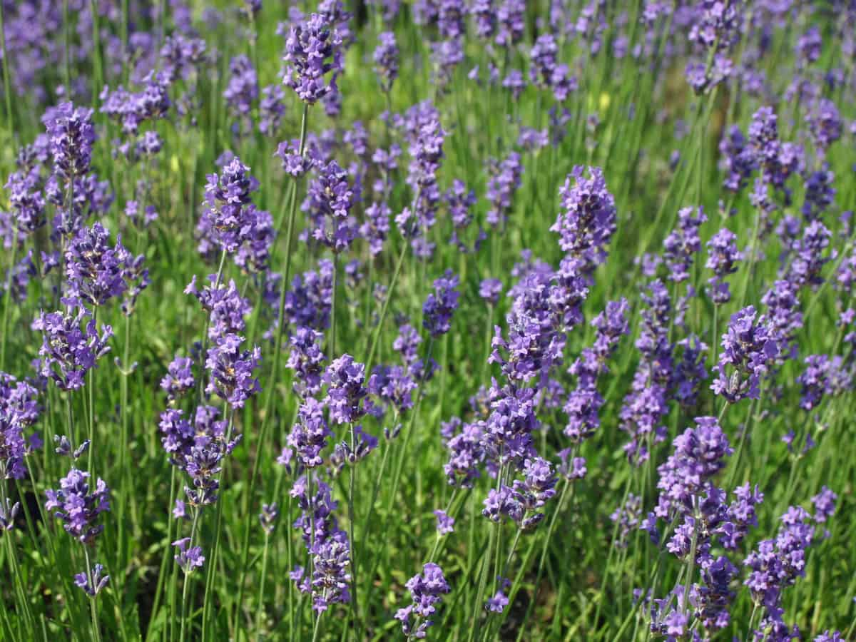 lavender - a striking perennial with bug-repelling properties